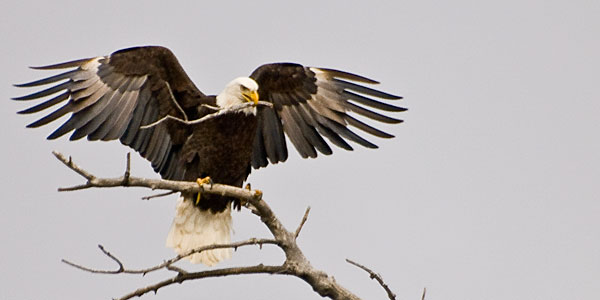 A bald eagle tears off a branch to make its nest.