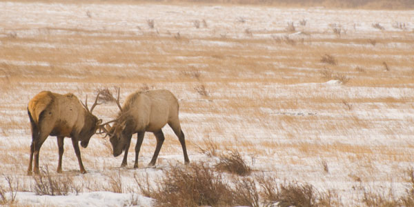 Learning the movements of the elk allowed me to capture this shot of sparring.