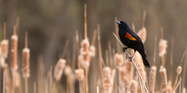 Red-winged blackbirds are a good subject with which to practice.